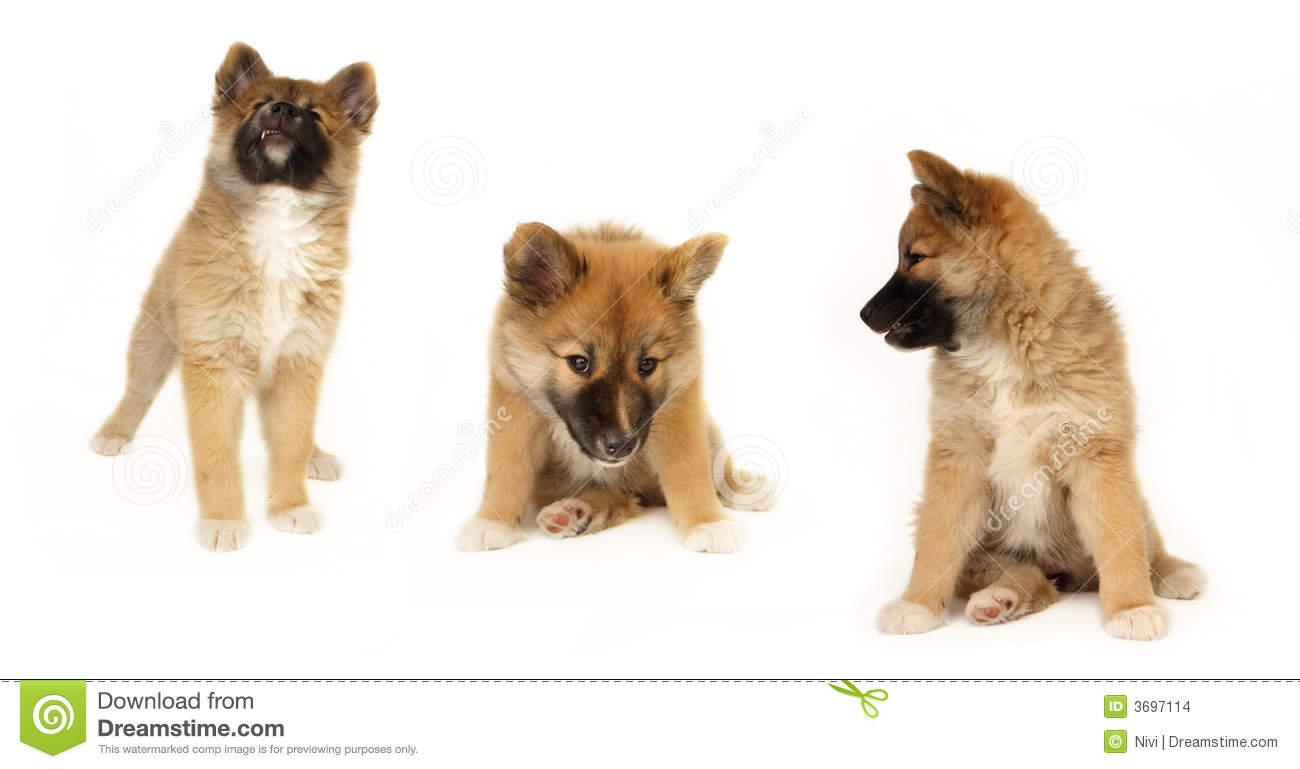 Icelandic Sheepdog Stock Images.