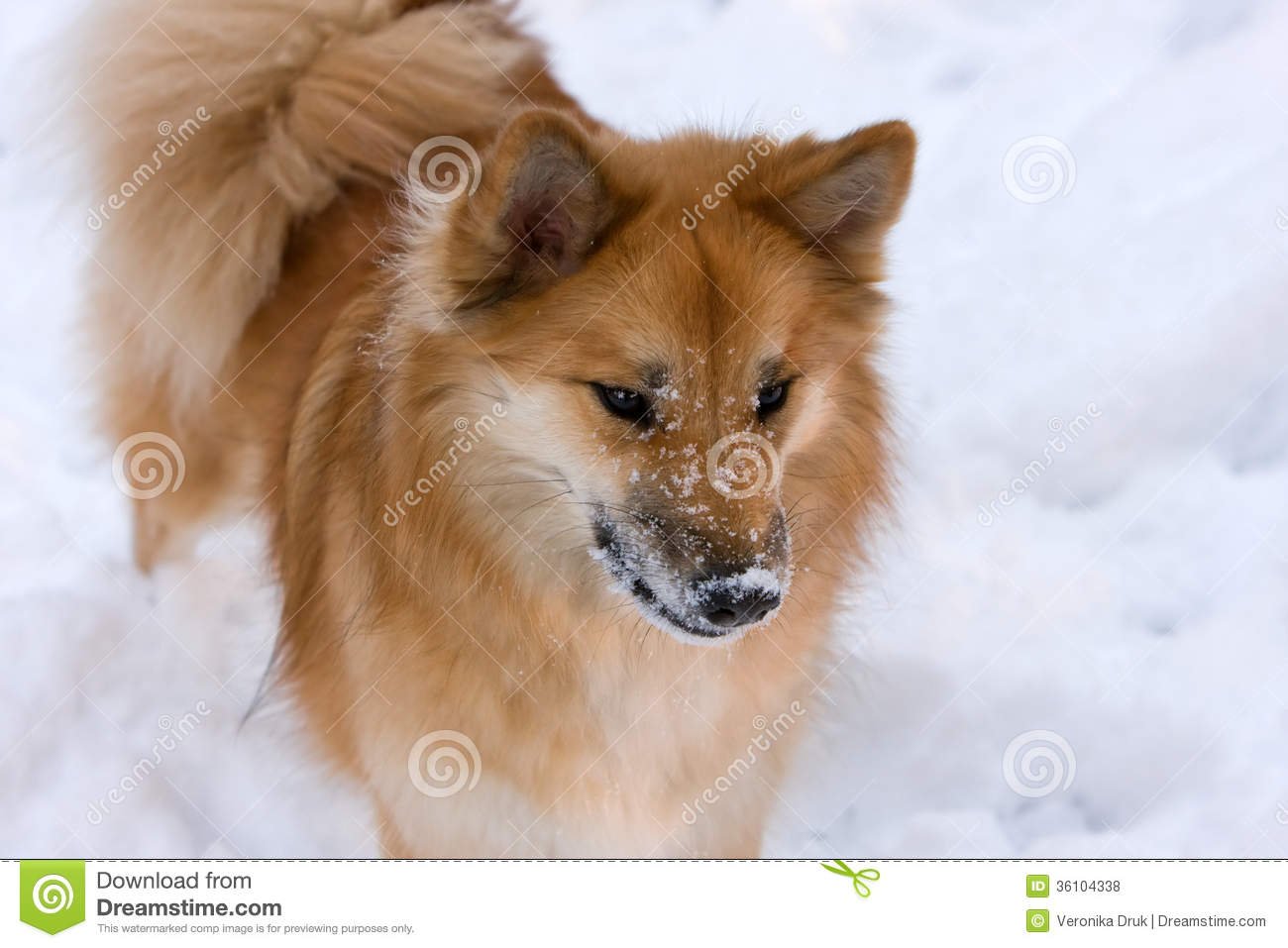 Icelandic Sheepdog Stock Images.