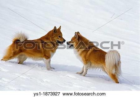 Picture of Iceland or Icelandic Sheepdog, Dogs standing in Snow.