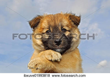 icelandic sheepdog clipart #7