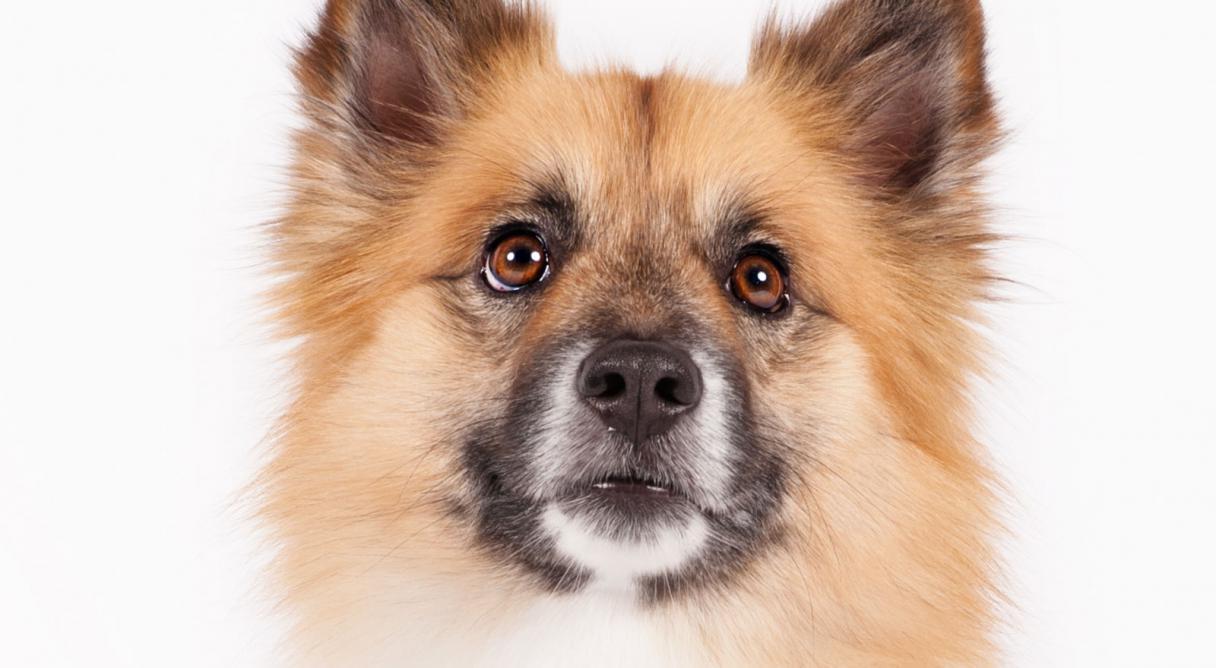 Icelandic Sheepdog Dog Breed Information.