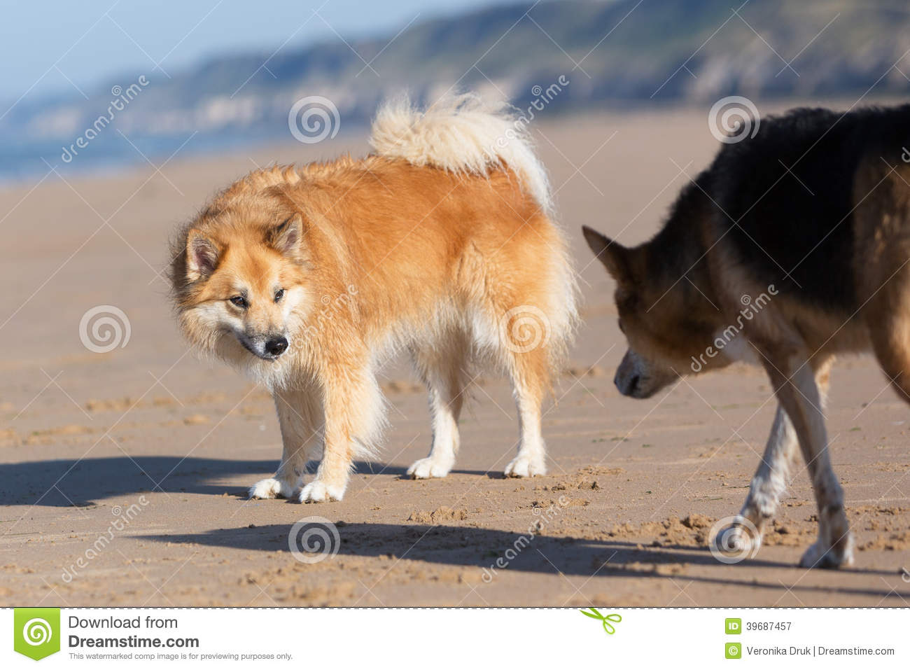 Dogs With Submissive And Dominate Behavior Stock Photo.