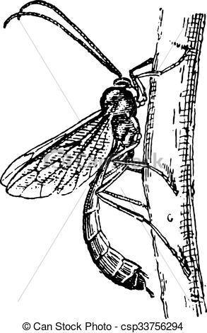 EPS Vectors of Ichneumon wasp or Ichneumon vintage engraving.