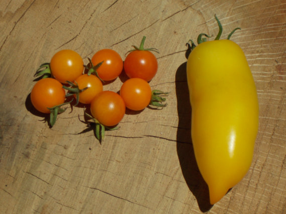 Yellow Icicle Roma Tomato Seeds Yellow tomatoes by TheGiftedTomato.