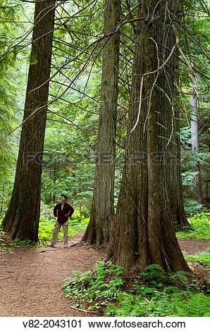 Stock Photography of Settlers Grove Interpretive Trail with cedars.