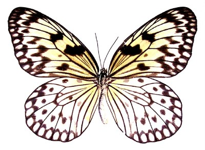 Details about BUTTERFLY/MOTH/MOUNTED Framed Thailand Beauty IDEA LEUCONOE.