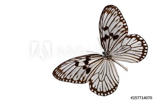 Butterfly idea leuconoe isolated on white background.