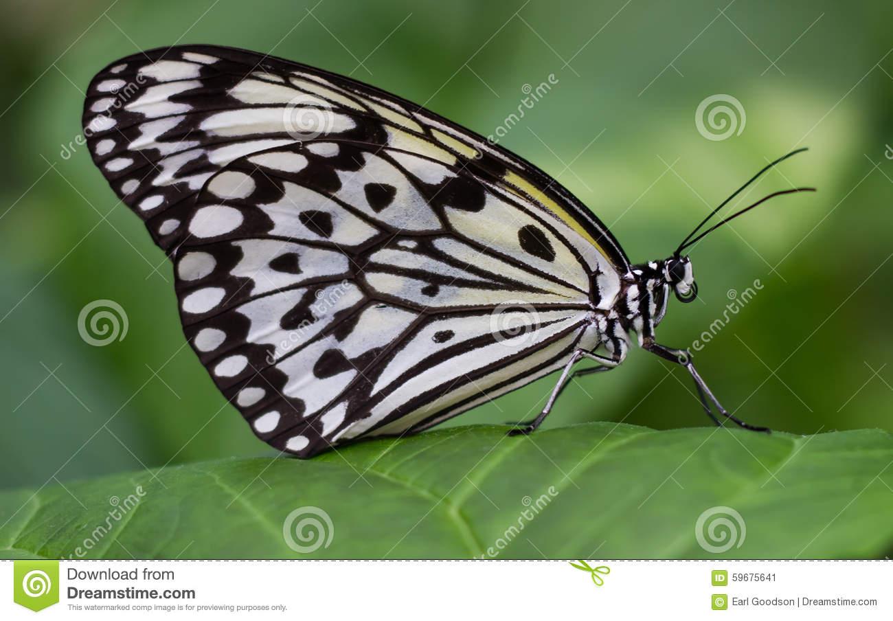Idea Leuconoe Clara Butterfly Fluttering And Relaxing In A Garden.