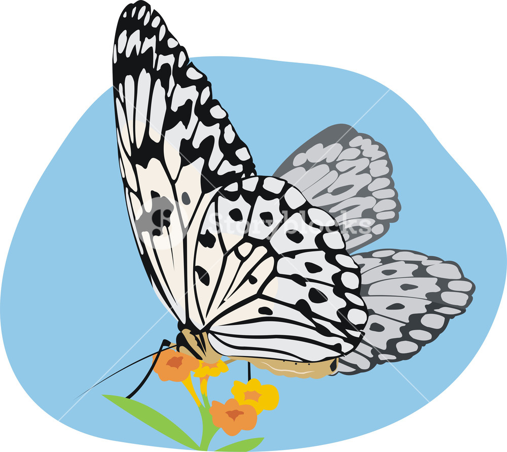 art illustration of butterfly (idea leuconoe) at the flower Royalty.