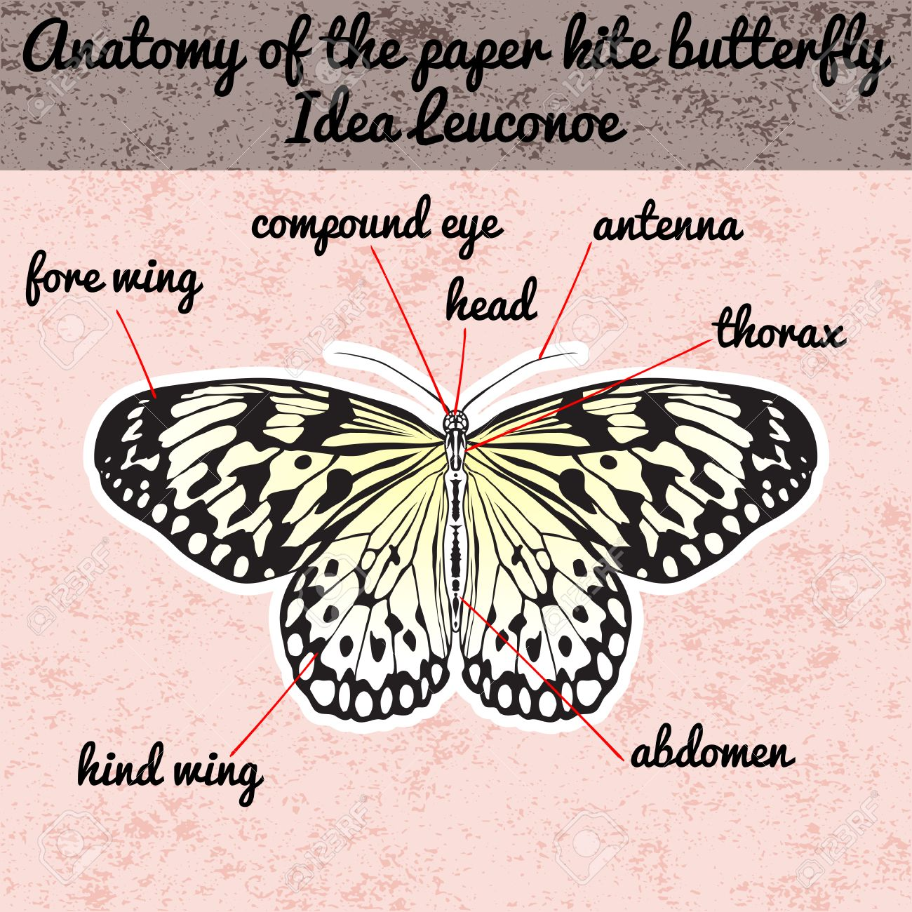 Insect anatomy. Sticker Butterfly Idea Leuconoe. Rice Paper Kite...