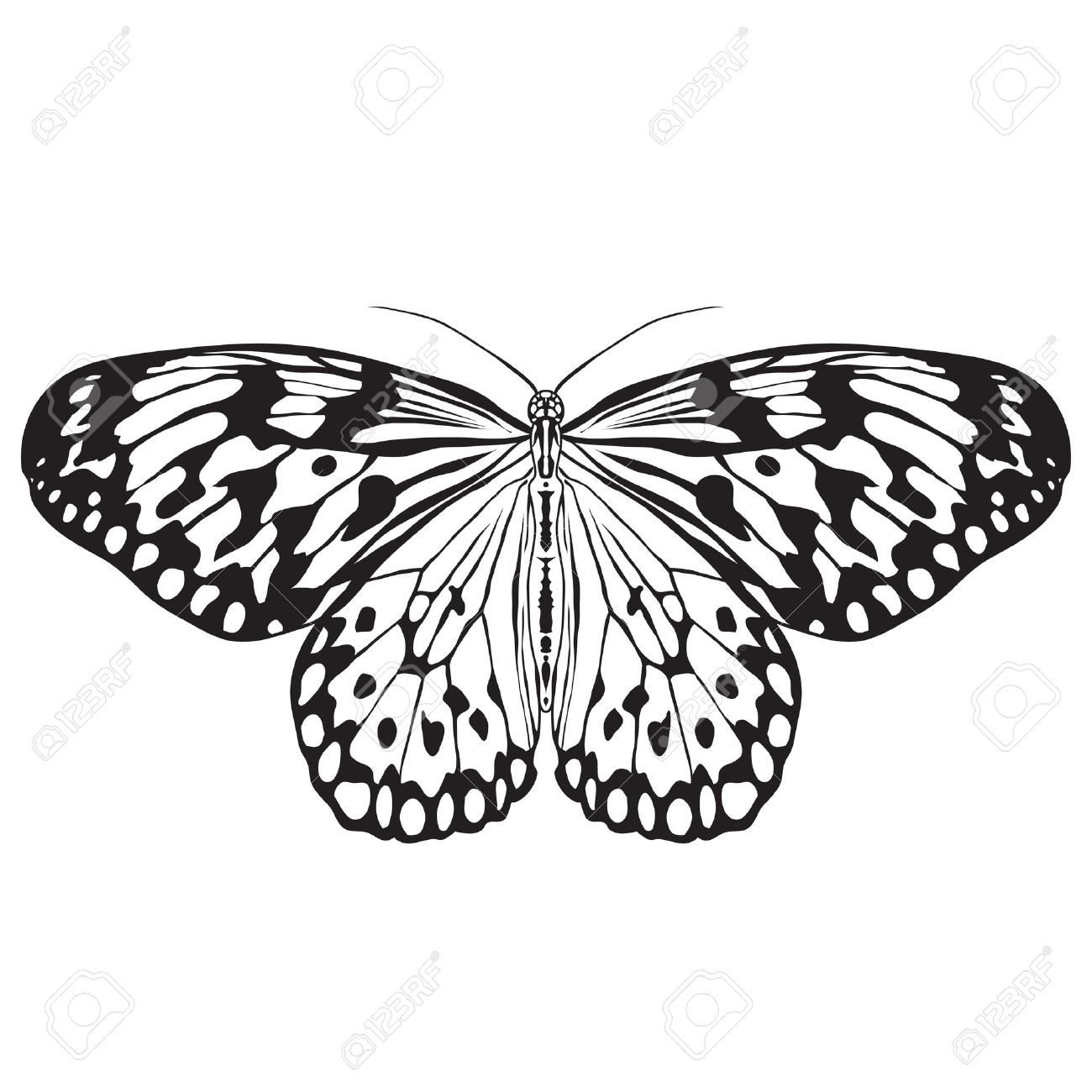 Butterfly Idea Leuconoe. Sketch of Butterfly. Butterfly isolated...