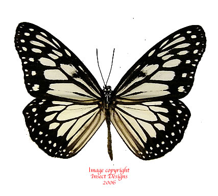 Insect Designs :: Butterflies and Moths :: Danaidae :: Ideopsis.