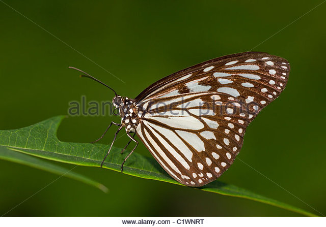 Ideopsis Stock Photos & Ideopsis Stock Images.