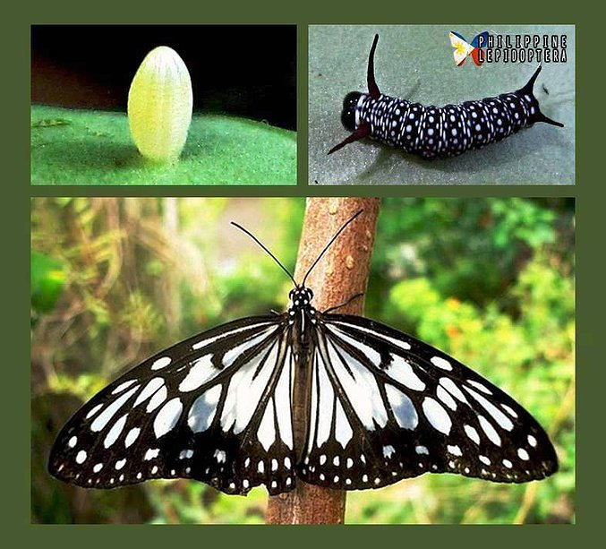 Butterflies in the Philippines.