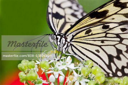 Butterfly pollinating flower Stock Photos.