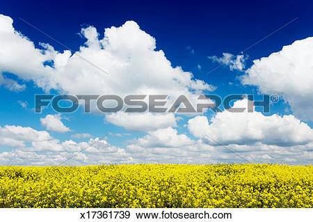 Stock Photograph of Germany, Bavaria, rape (Brassica napus) field.