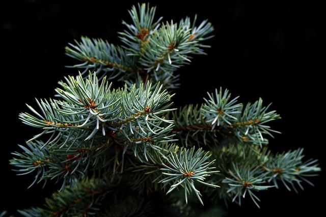 Free photo Spruce Needle Rain Drops Tree Needles Green.