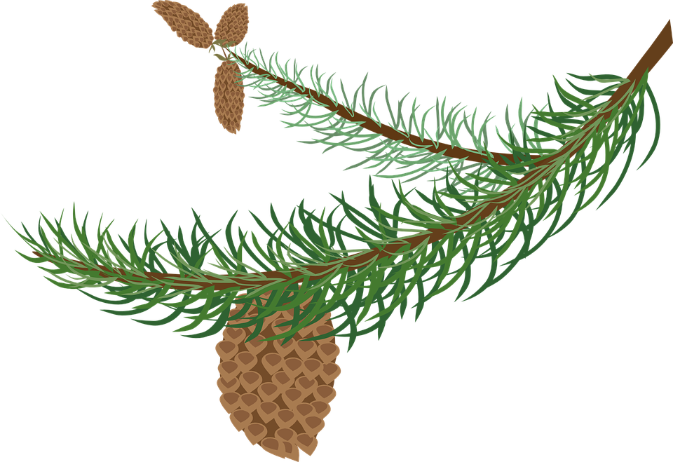 Free vector graphic: Branch, Cones, Fir, Green, Spruce.
