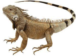Clip Art Of An Iguana.