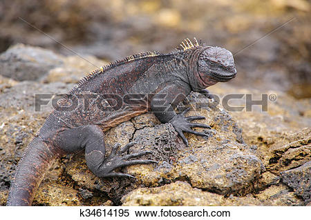 Stock Image of Marine Iguana on Chinese Hat island, Galapagos.