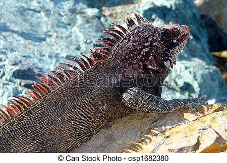 Stock Photography of Colorful island iguana on rocks.