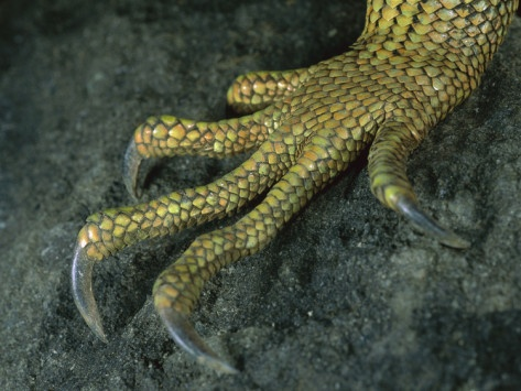 1000+ images about Iguana on Pinterest.