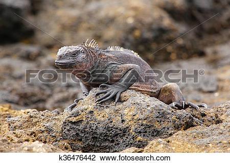Stock Photo of Marine Iguana on Chinese Hat island, Galapagos.