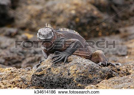 Stock Images of Marine Iguana on Chinese Hat island, Galapagos.