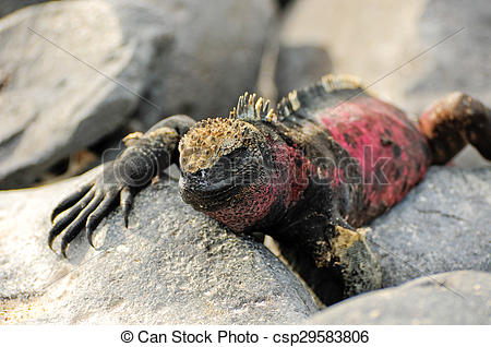 Stock Photography of Galapagos islands iguana in their natural.
