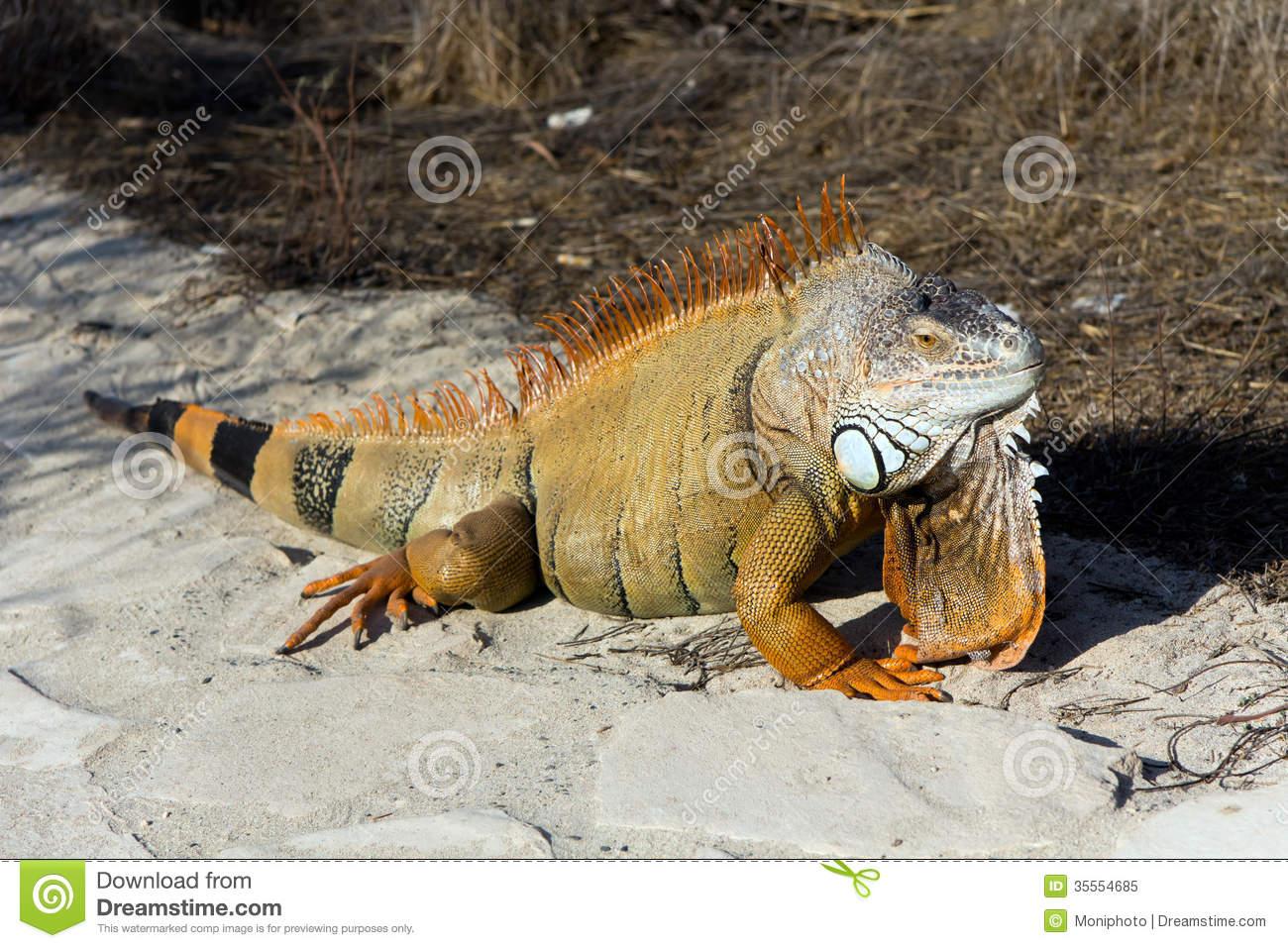 Orange Iguana On The Sand, Island Cyprus Royalty Free Stock Photo.