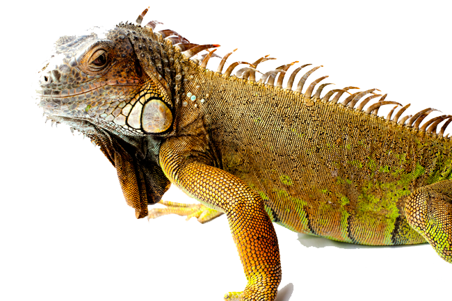 Download Free png Iguana PNG Picture.