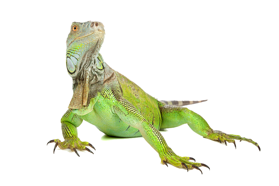 Download Iguana PNG Image.