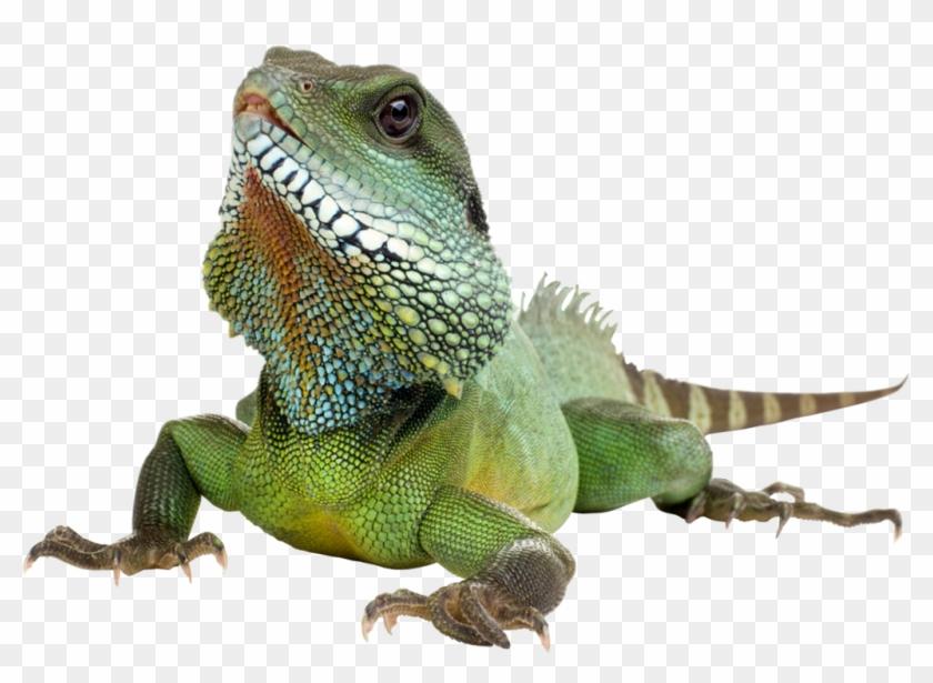 Download Lizard Png Transparent Images Transparent.