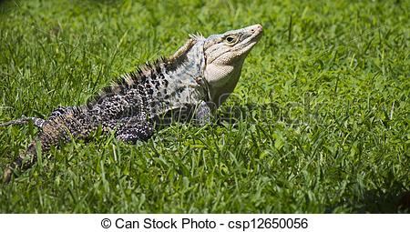 Stock Images of Very large Iguanidae, Iguana looking back in short.
