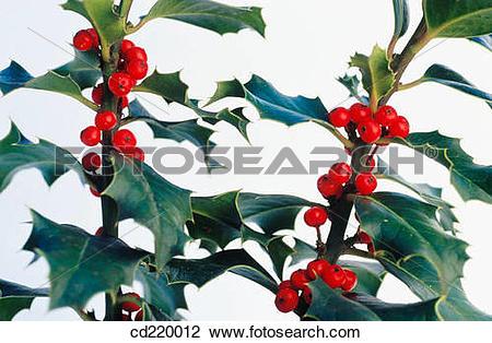 Stock Photo of Holly (Ilex aquifolium) cd220012.