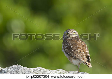 Stock Photo of Burrowing Owl (Speotyto cunicularia), adult.