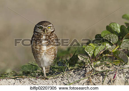 Stock Image of Burrowing Owl (Speotyto cunicularia), adult.