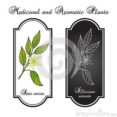 Genuine Star Anise Illicium Verum Stock Illustrations.