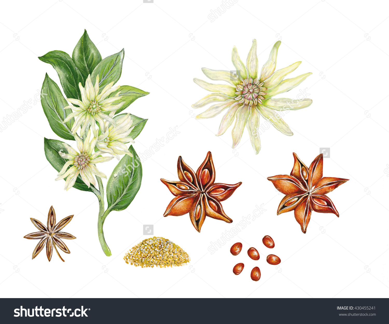 Realistic Botanic Illustration Star Anise Illicium Stock.