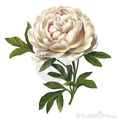 Peony Flower Illustration.