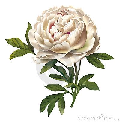 Peony Flower Illustration.