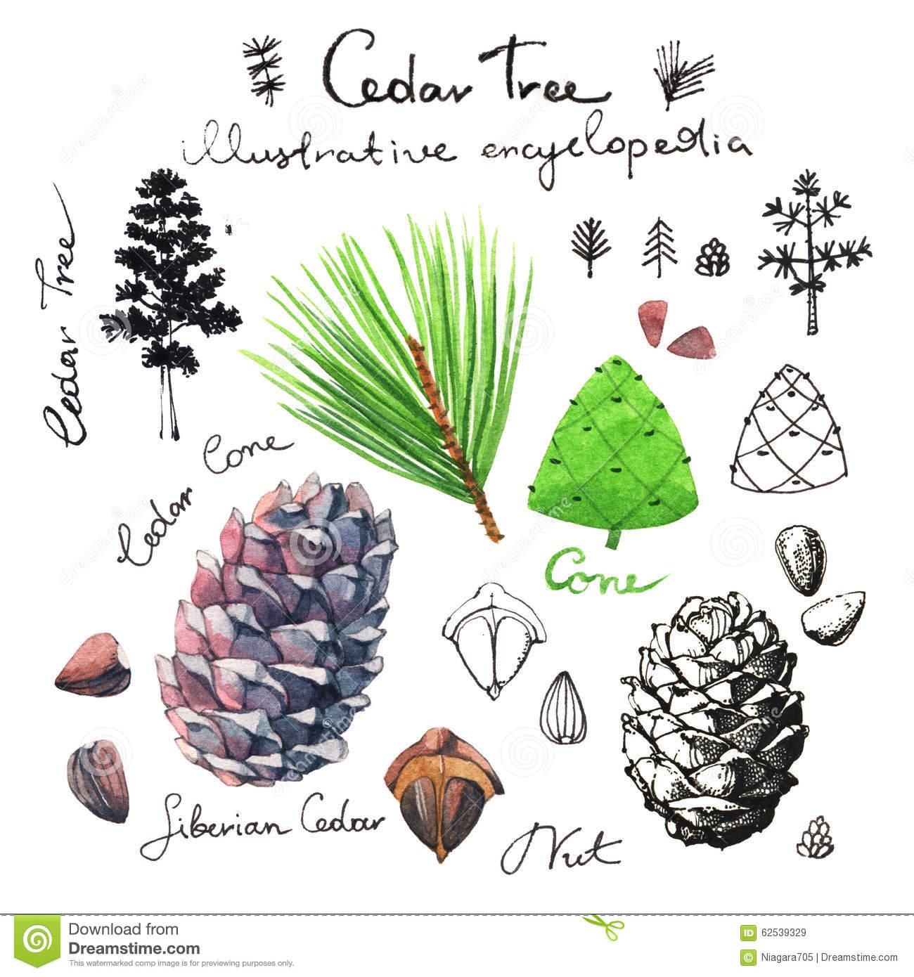 Cedar Tree Illustrative Clip Art Stock Illustration.