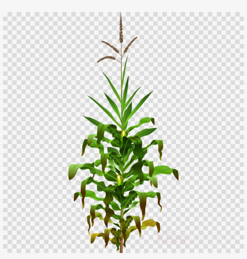 Corn Plant Png Clipart Corn On The Cob Maize Clip Art.