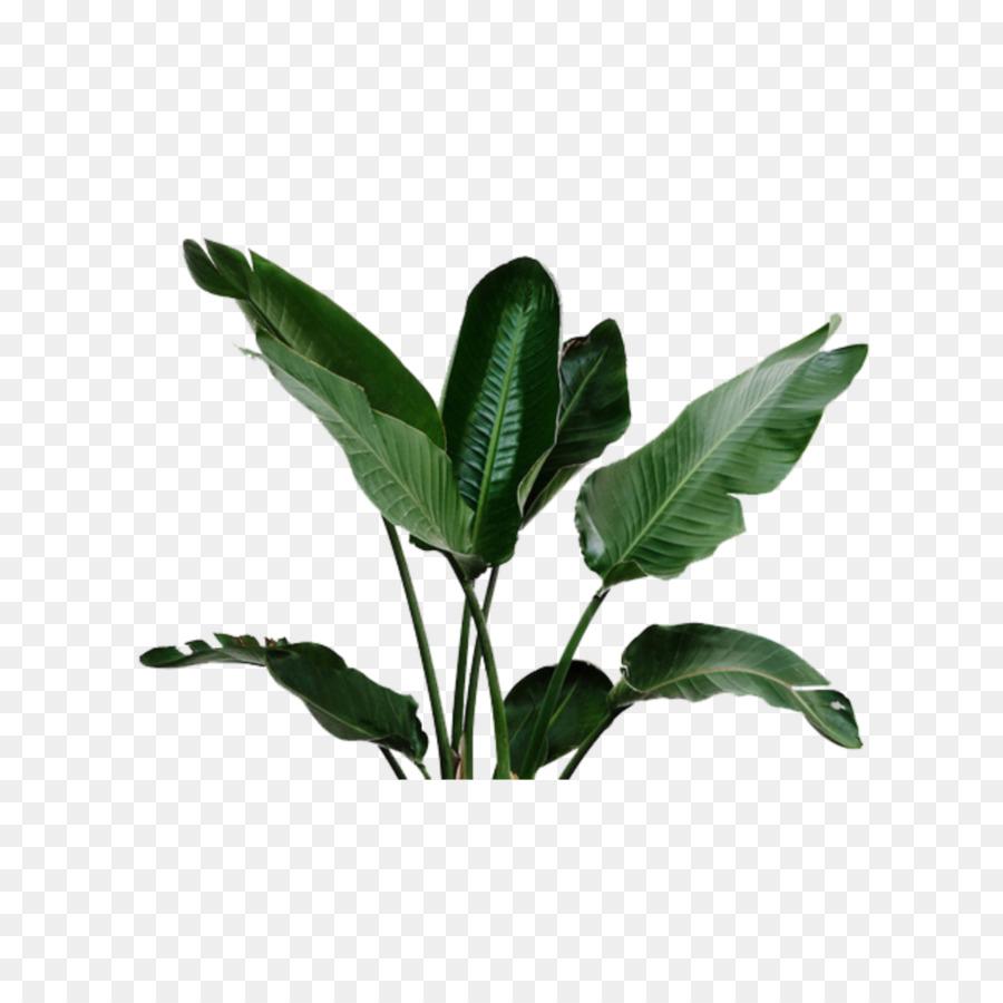 Maceta, Las Plantas, Queso Suizo Planta imagen png.