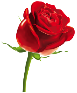 Rose PNG Images.