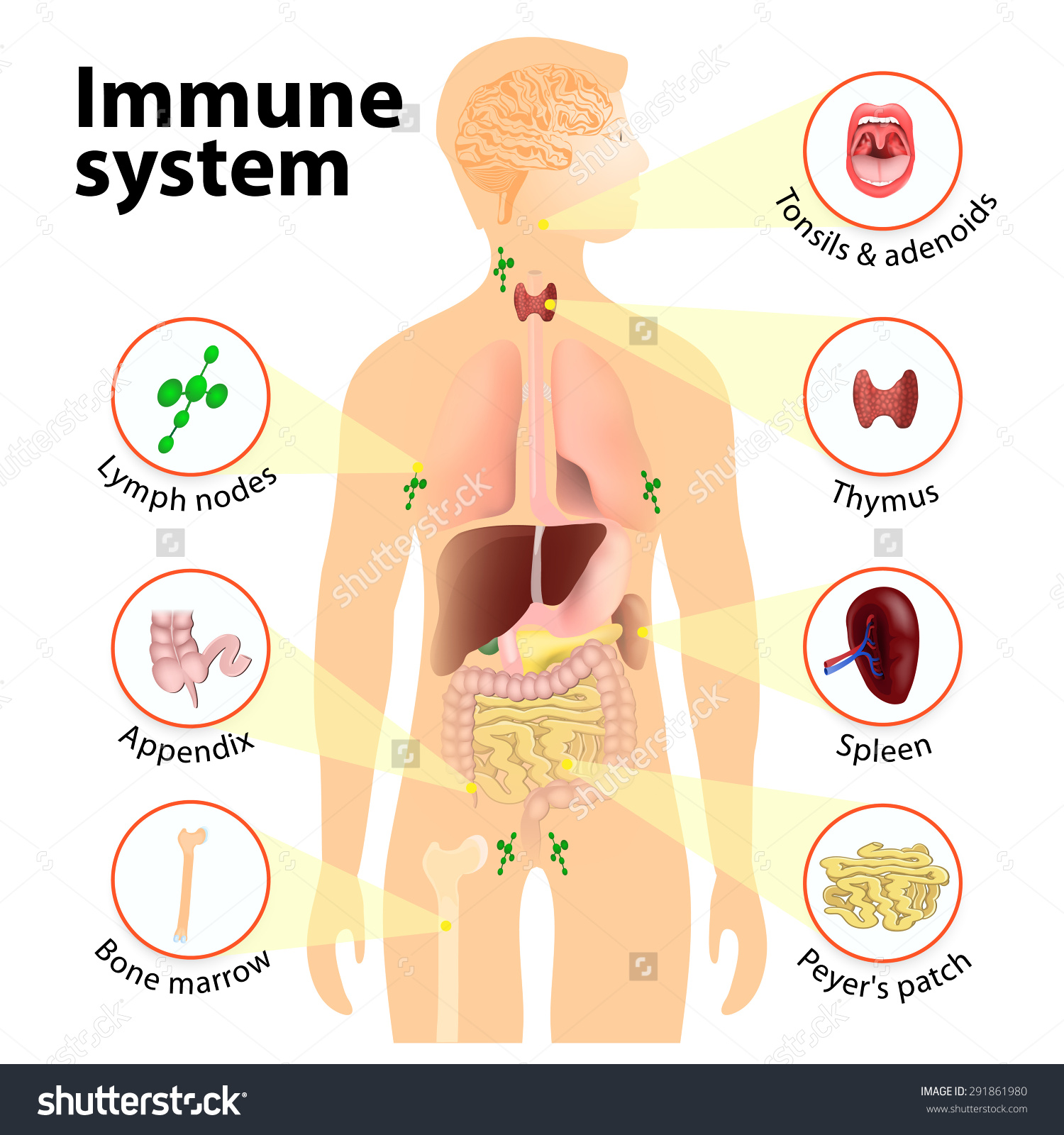 Immune system in the body clipart.