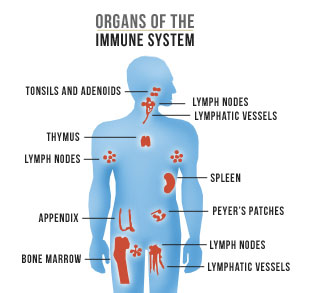Immune System System In The Body Clipart.