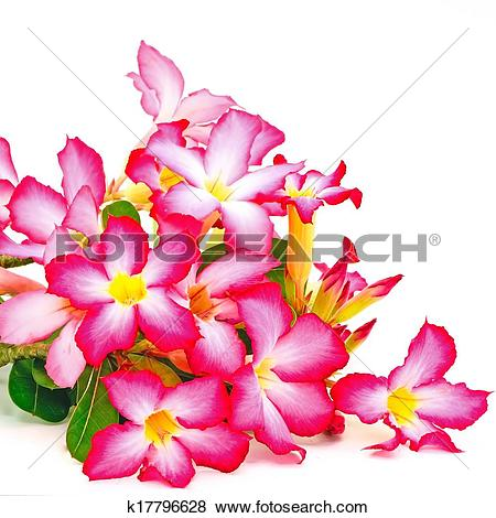 Pictures of Impala Lily k17796628.