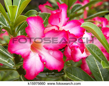 Stock Photography of Adenium obesum, Desert Rose, Impala Lily.