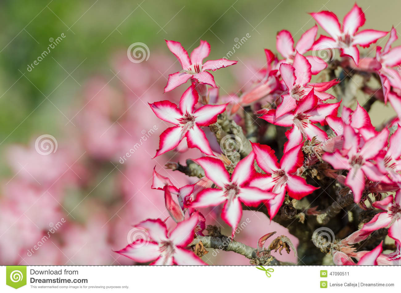 Impala Lily In Kruger Park South Africa Stock Photo.
